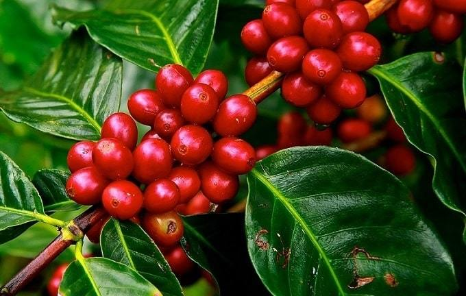 History of Planting Colombian Coffee