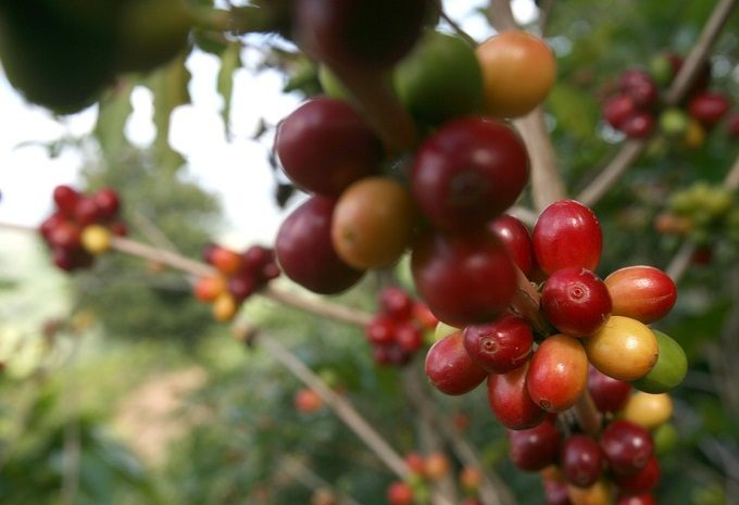 History of Planting Puerto Rican Coffee